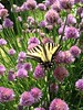 Butterfly on chives