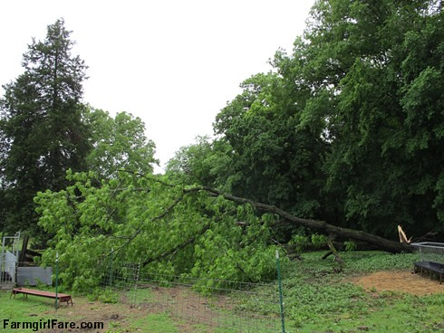 (29-3) Fallen black walnut tree in the barnyard - FarmgirlFare.com