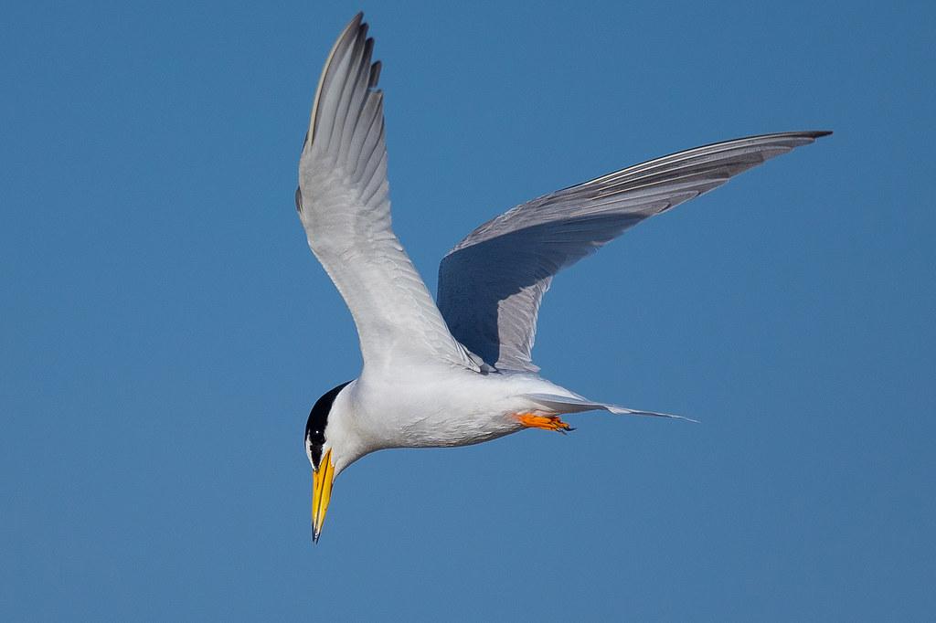 小燕鷗-2718