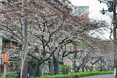 【写真】桜 : 木屋町通り