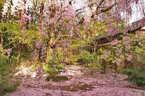 【写真】桜 : 退蔵院