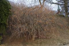 Corylaceae