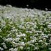 Buckwheat; Хељда by Popke028