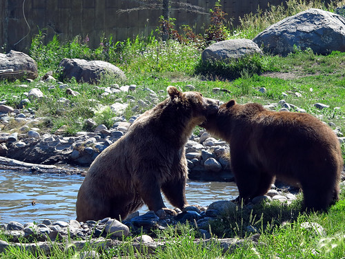 Grizzly Encounter Bozeman Montana