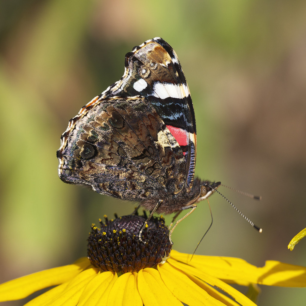 The World's Best Photos of butterfly and taxonomy:genus ...