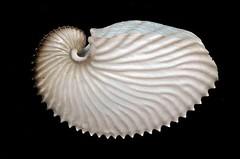 圖08-1、扁船蛸的體殼扁、放射肋多(可達50條),體型較大,顏色為乳白色。(圖片拍攝:李坤瑄)