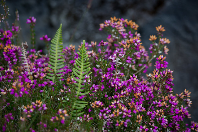 Blooming Heather - Isle of Skye