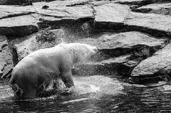 Eisbär im Zoologischen Garten, Berlin