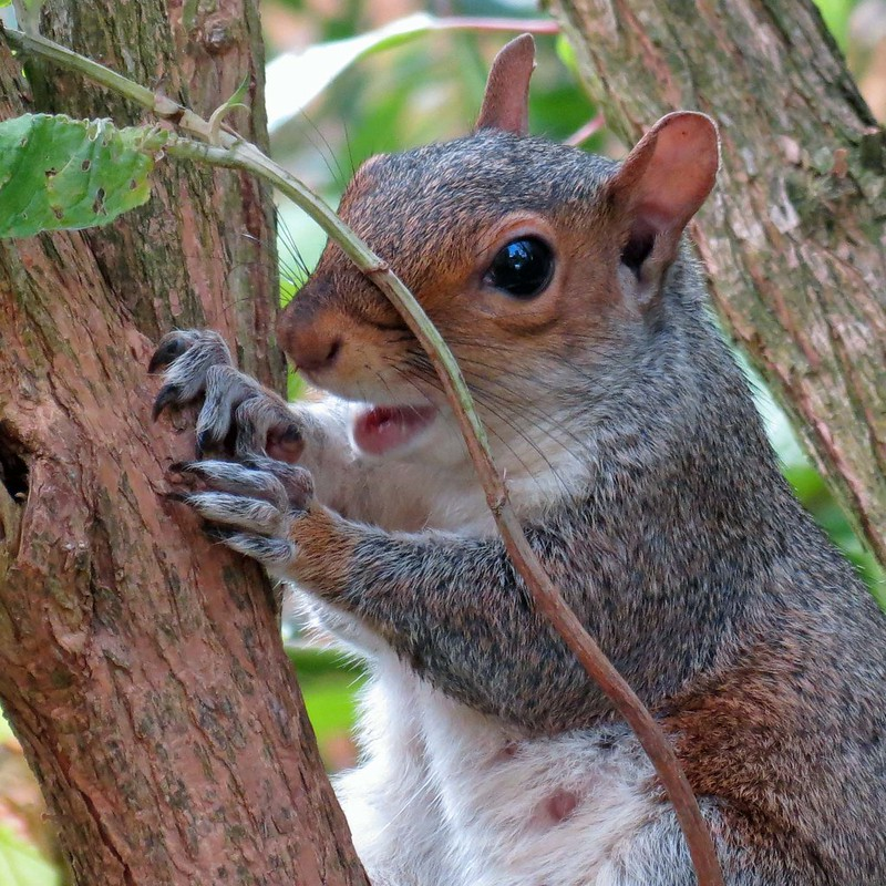 14Sep13 Young Squirrel Open Mouthed by Daisy Waring World