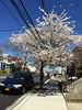 Fluffy White Cherry Tree by Viridia