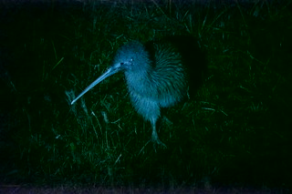 Kiwi at night