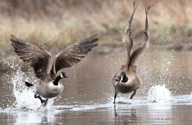 geese action water fowl photography