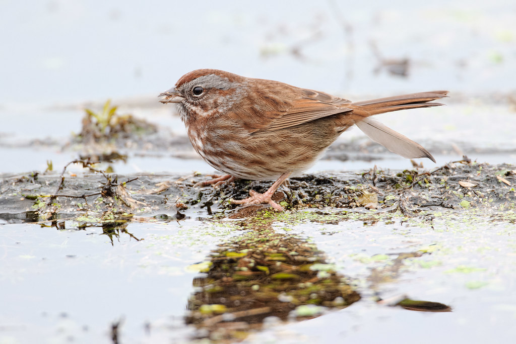A song sparrow eats seeds while standing on a floating branch
