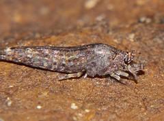 Bristletails Apterygota of Whitsunday shire