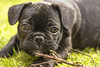 Buster the French Bulldog