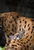 sleeping lynx cub
