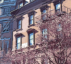Magnolias in Boston's Back Bay (Digital Woodcut) by randubnick