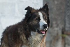 east siberian laika(0.0), dog breed(1.0), animal(1.0), dog(1.0), caucasian shepherd dog(1.0), pet(1.0), karelian bear dog(1.0), greenland dog(1.0), carnivoran(1.0),