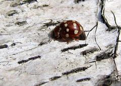 Cream-spotted Ladybird - Calvia 14-guttata