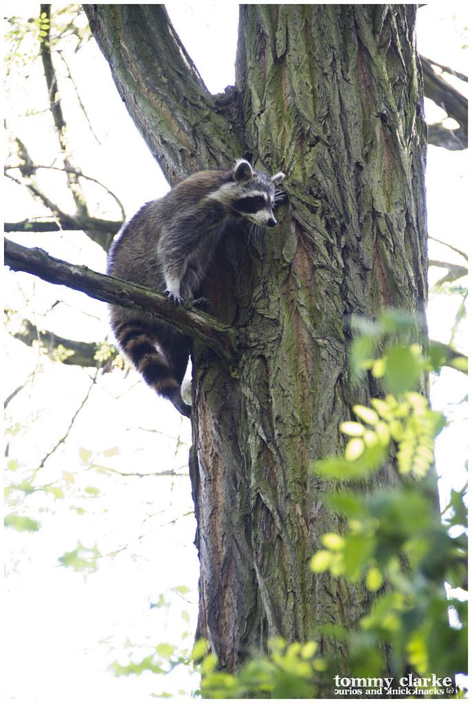 perching raccoon