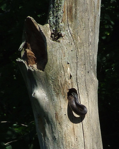 black rat snake in flicker nest hole 2