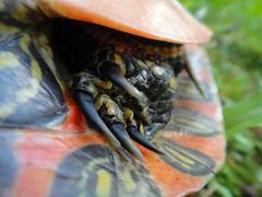 Turtle foot.