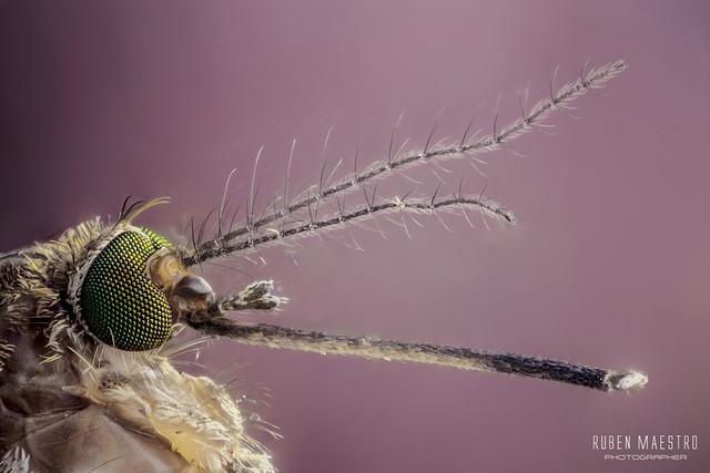 Mosquito 10X