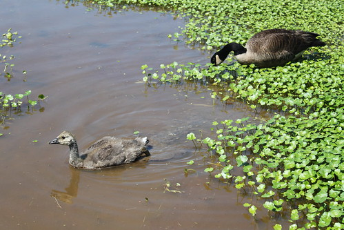 Huntley Meadows Park - Baby and Adult Canadian Geese