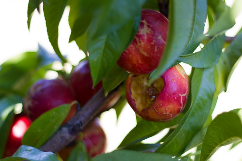 Independence Nectarines