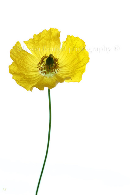 Yellow Poppy!