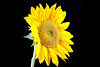 0222049-Sunflower-5