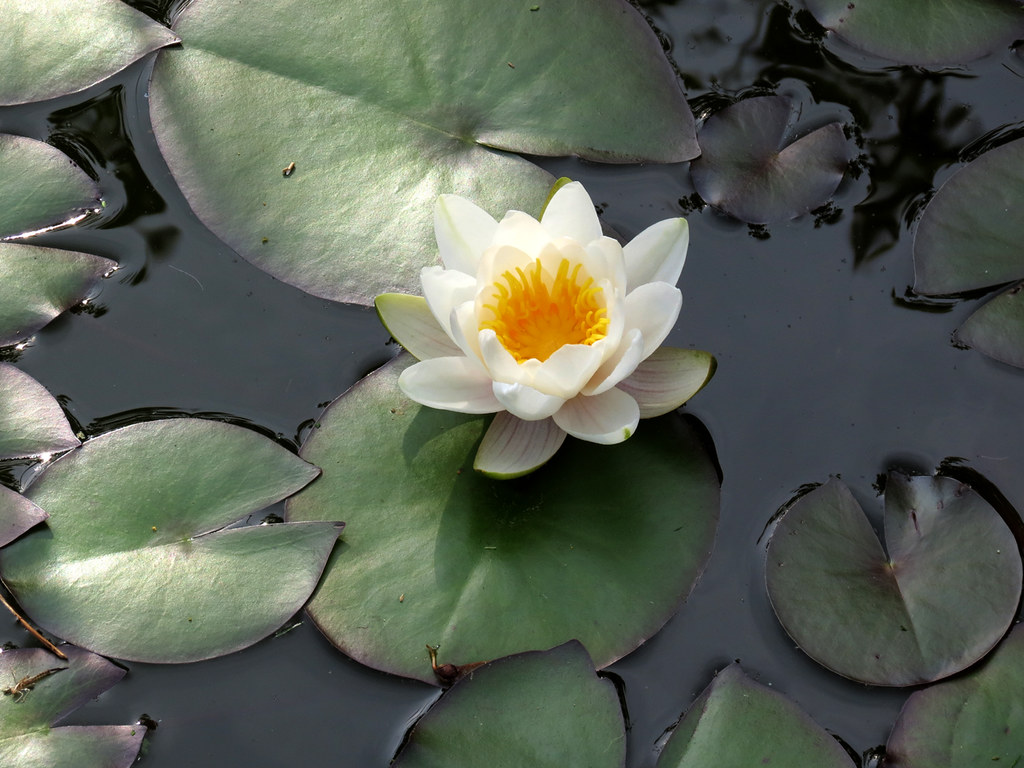 lily pad and flower