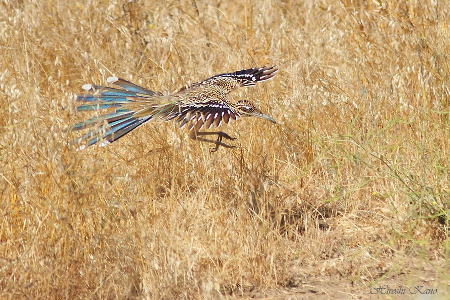 Greater Roadrunner 050513-14