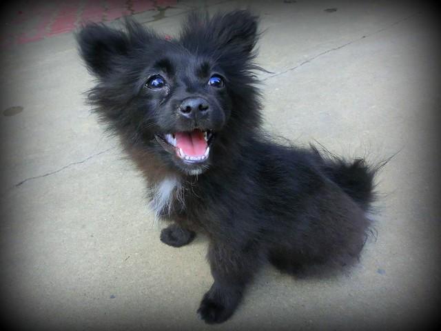 Small black puppy