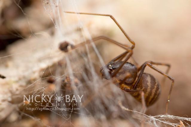 Spitting Spider (Scytodidae) - DSC_6736