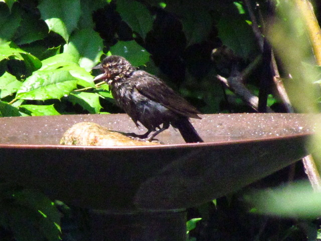 juv. Red-winged Blackbird?1 6:24:13