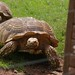 Small photo of African Spurred Tortoise at South Lakes Wild Animal Park