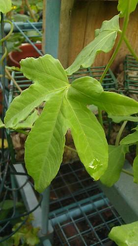 Ipomoea platensis by Gerris2
