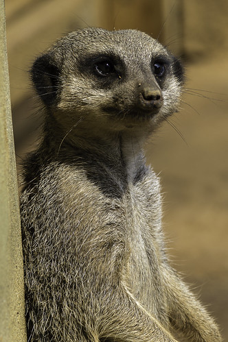 Male Meerkat or Suricate (Suricata suricatta) taking the sun at Colchester Zoo by Paul E. Dyer