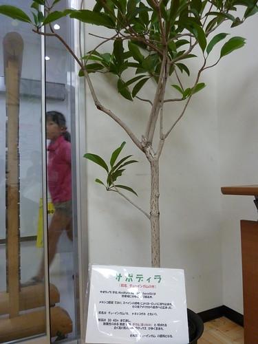 サポディラ (別名:チューインガムの木)