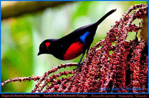 ecuador ngc tanager pichincha thraupidae anisognathus mountaintanager yanacocha ecuadorbirds southamericanbirds neotropicalbirds anisognathusigniventris scarletbelliedmountaintanager mygearandme peterwendelken ecuadorphoto ecuadortanagers southamericantanagers tanagerphotobypeterwendelken scarletbelliedmountaintanagerphoto scarletbelliedmountaintanagerinecuador scarletbelliedmountaintanagereatingfruit yanacochatanagers scarletbelliedmountaintanageratyanacocha tangaramontaña tangarademontañaventriescarlata