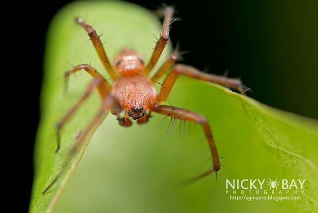 Orb Web Spider (Araneidae) - DSC_2856