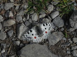 Parnassius apollo= L'Apollon (endormi sur le chemin)