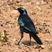 Burchell's Starling or Burchell's Glossy-starling, Lamprotornis australis (I think) at Borakalalo National Park, South Africa
