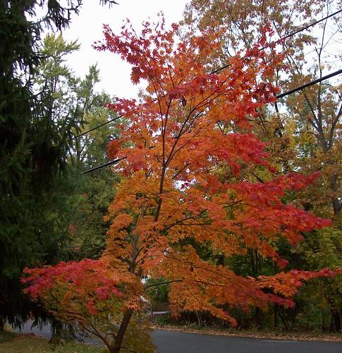 japanese maple leaning left