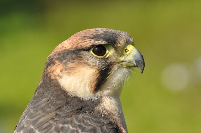 peregrine falcon . Turns out its a Lanner   ..