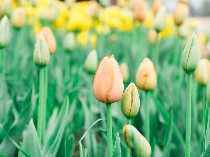 Showa Kinen Park Tulips