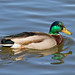 Mallard on the lake by mariannedeselle