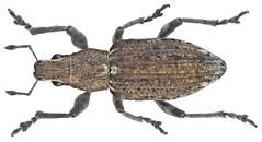 Charagmus griseus (Fabricius, 1775) Syn.: Sitona griseus (Fabricius, 1775)
