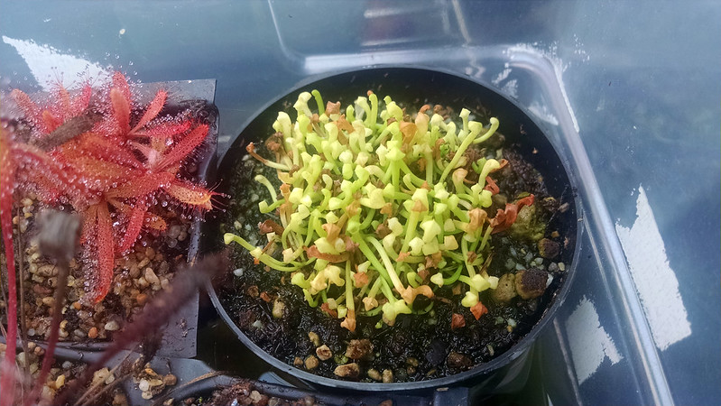 Anthocyanin-free Sarracenia leucophylla seedlings.